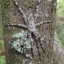 Whitebanded Fishing Spider