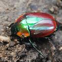 olivieri beetle