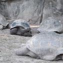 Galapagos Tortoise/Turtles