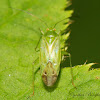 Common Green Capsid