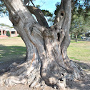 Easrtern Red Cedar