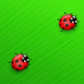 Red Ladybugs On Big Leaf