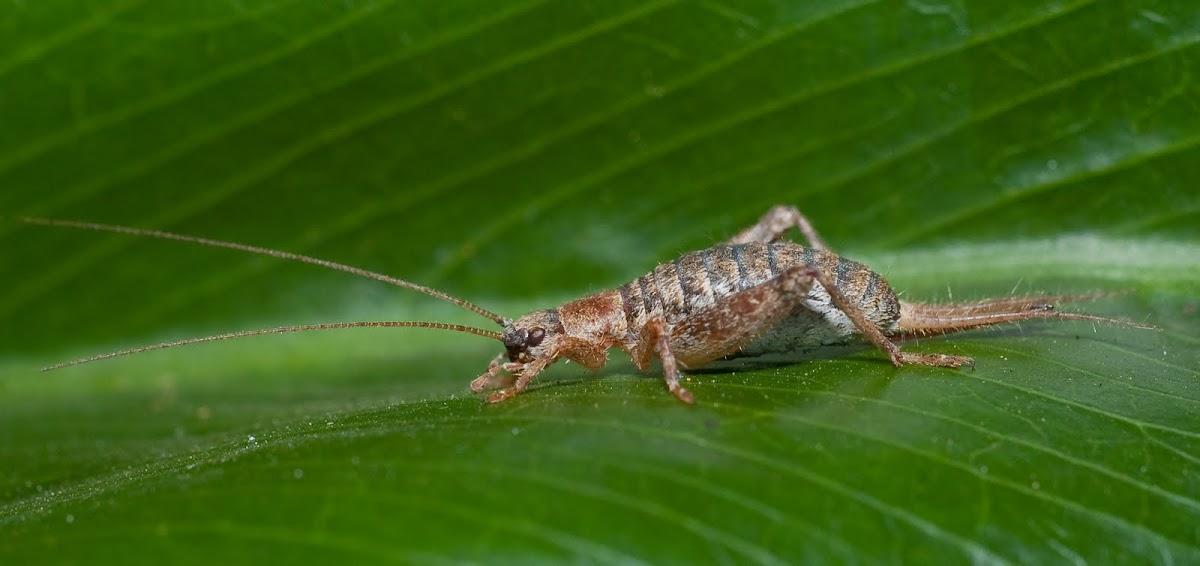 Scaly Cricket