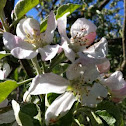 Apple tree, blossom (Apfelbaum, Blüte)