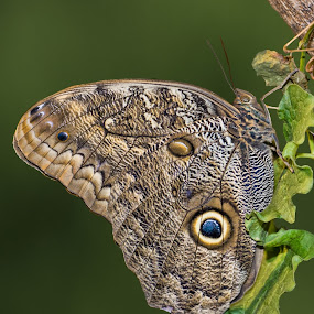 Bullseye by Becky Kempf - Animals Insects & Spiders ( butterfly, bullseye, brown owl butterfly,  )