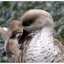The Marbled Duck, or Marbled Teal