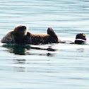 Sea Otter (mom with baby)