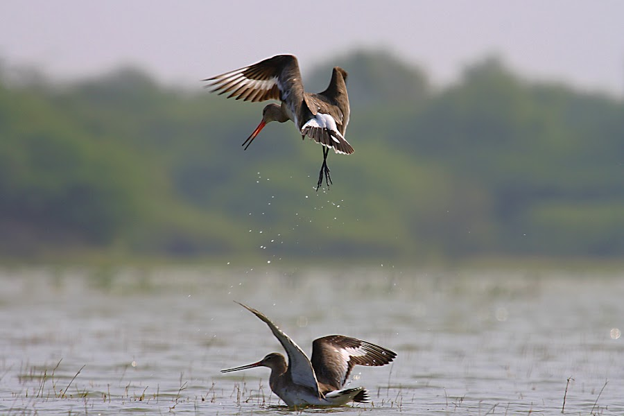 Black Tailed Gudwit by Niraj Patel - Animals Birds (  )