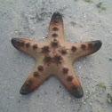 Giant sea star