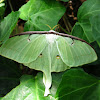 Luna Moth (Female)