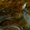Mississippi Green Water Snake