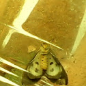 Owlet Moths