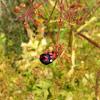 Harlequin ladybird or Veelkleurig Aziatisch lieveheersbeestje