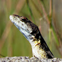 Common Crag Lizard