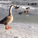 Feral Swan Goose