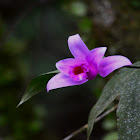 One day orchid