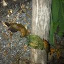Dusky slug