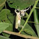 Katydid in ecdysis