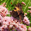 Ortiguera/Small Tortoiseshell (wings closed)