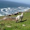Oveja. Sheep