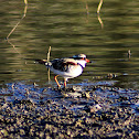 Black-fronted Dotteral