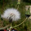 common dandelion; diente de león