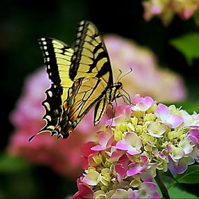 Pink Hydrangea and Friend by Darlene Lankford Honeycutt - Flowers Flowers in the Wild ( butterfly, wild, dl honeycutt, pink, flowers, hydrangeas )
