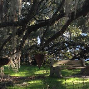 Big Oak by Dorothy Valine Gram - Landscapes Forests