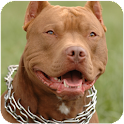 Pitbull Dog Live Wallpaper APK