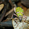Green broad-nosed weevil