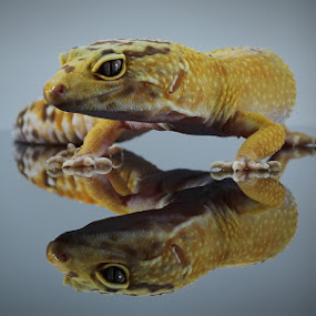 by Hindra Komara - Animals Reptiles ( reptiles, animals, indonesia,  )