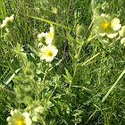 Prairie cinquefoil