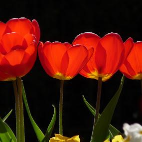 Tulip Mania by Steve Cooke - Flowers Flower Gardens (  )