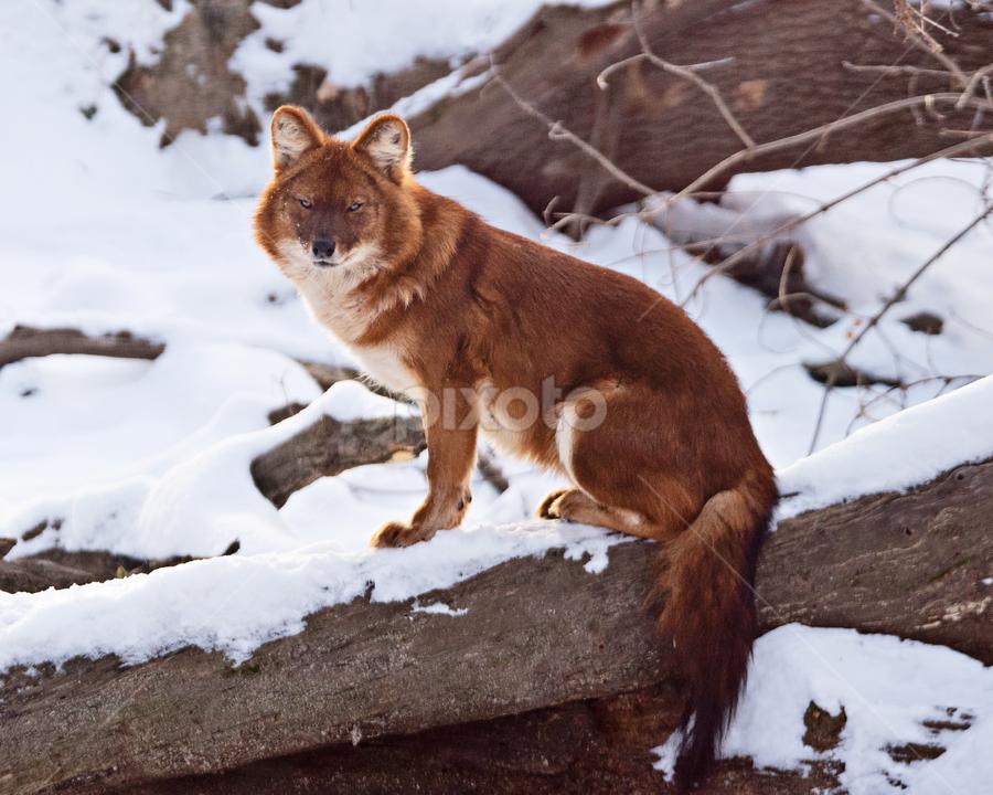 Dhole (Wild Asian Dog) by Jill Beim - Animals Other Mammals ( mammals, animals, red, wild dog, dholes,  )
