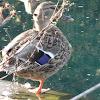 duck!!!
