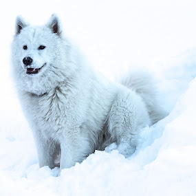 Snowdog by Elin Laxdal - Animals - Dogs Portraits ( iceland, reykjavik, snow, christmas, samoyed,  )