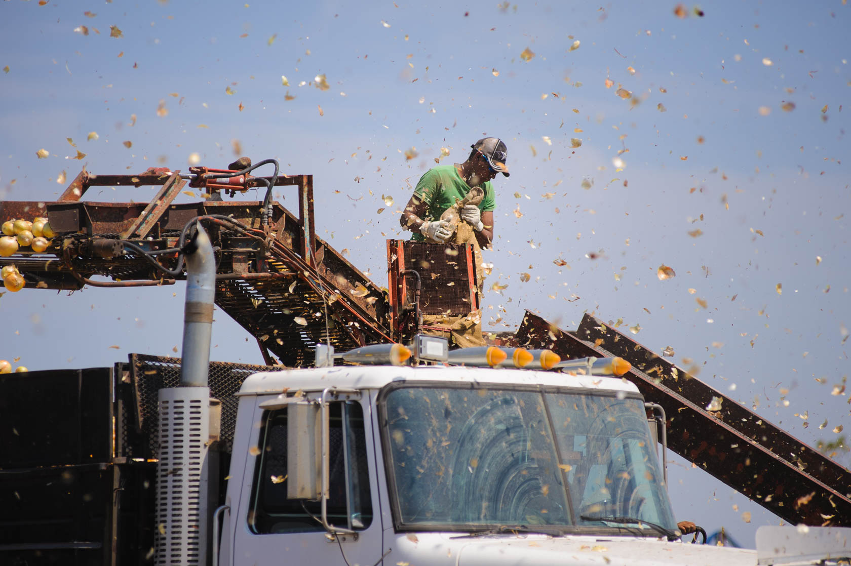 Onion Harvest, South Texas
