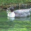 wild duck /norther shoveler