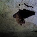 Eastern Pipestrelle/ Tri-color Bat