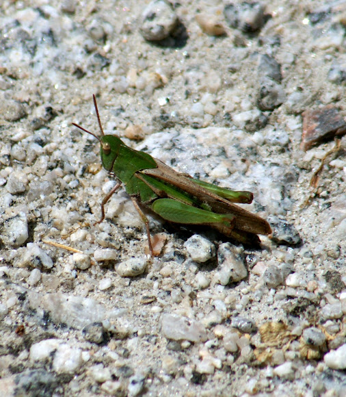 black and yellow striped grasshopper jpg 1200x900