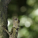 Bornean angle-headed lizard