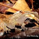 Gannoruwa Srub Frog