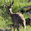 Grey rhebok male