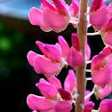 Garden Lupin