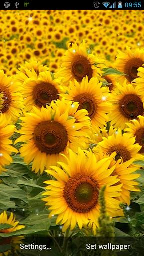 桌布天堂 --- 花卉特寫桌布-向日葵