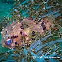 Birdbeak Burrfish, Spiny Blaasop