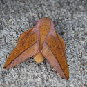 Bisected honey locust moth