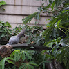 Go away bird/ Kwêvoël (juvenile)