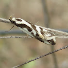 Small Banded Moth
