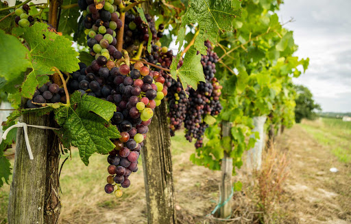 grapes-Bordeaux-France - Grapevines in Bordeaux, France, the legendary wine-growing region.